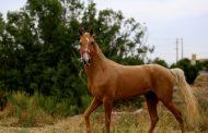 نفسی تا اسب ترکمن تاخت از سرگیرد