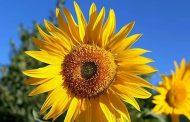 آفتابگردان، محصولی استراتژیک