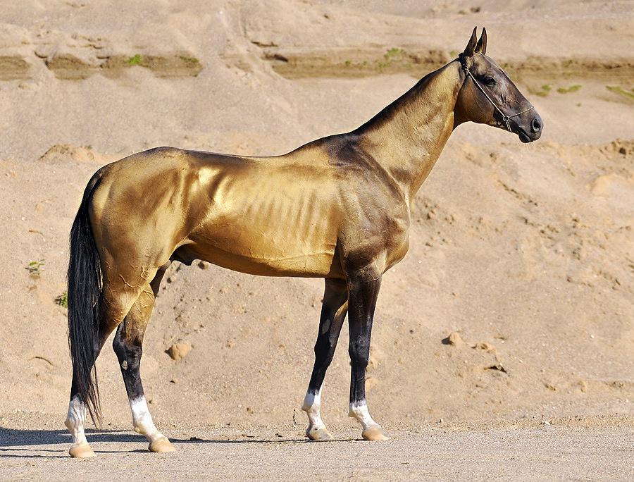 آخال تکه زیباترین نژاد اسب ترکمن در جهان