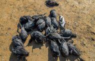 مرگ مشکوک پرندگان این بار در سواحل بندرترکمن / ۲۵۸ لاشه جمع آوری شد