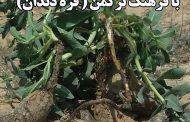 معرفی گیاه عجین شده با فرهنگ ترکمن ( قره دندان )