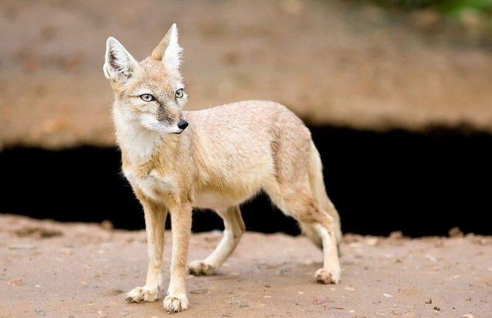 روباه ترکمنی